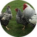 Marlow Poultry - Check in at the Chicken Hotel.